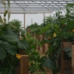 Tarland Community Garden - The polytunnel, Sept 2013